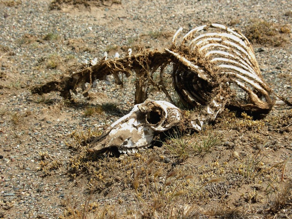 פגר של חיה מתה