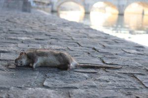 פגר של עכבר ברחוב